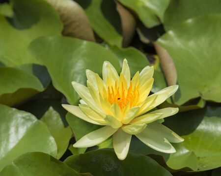 Yellow lotus in the pond Banque d'images - 132062457
