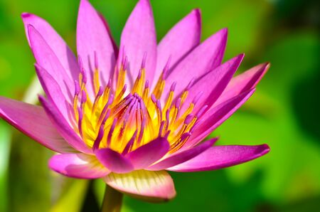 Lotus  flower  in the pond Banque d'images - 132063428