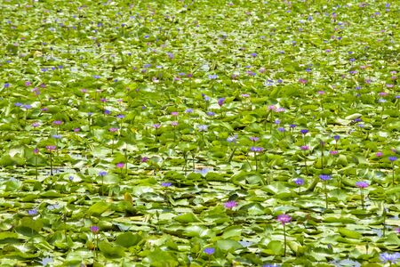 Lotus flower in the pool Banque d'images - 132062866
