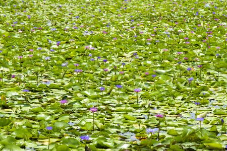 Lotus flower in the pool Banque d'images - 132062903