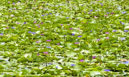 Lotus flower in the pool Banque d'images - 132063148
