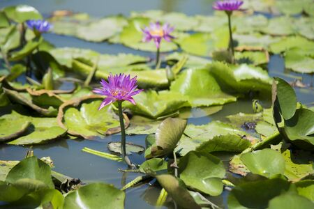 Lotus flower in the pool Banque d'images - 132063386