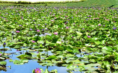 Lotus flower in the pool Banque d'images - 132062971