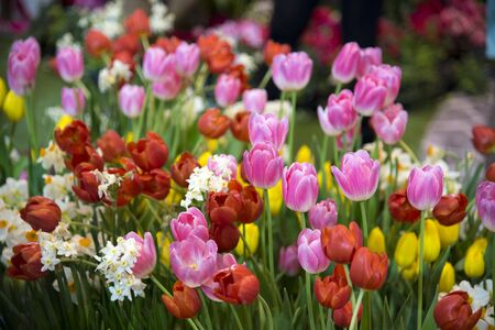 A variety of tulips in Thailand Public Park