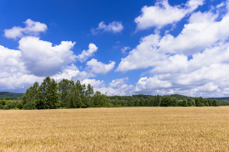 Wheat fields of the hills of the town Biei
