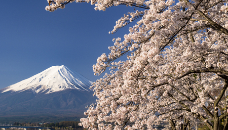 Cherry Blossom with MT Fuji Stok Fotoğraf