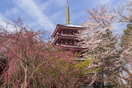 Cherry blossoms in full bloom with a five-story pagoda