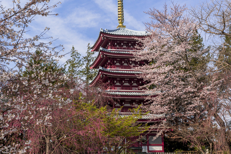 Cherry blossoms in full bloom with a five-story pagoda 写真素材 - 110581595