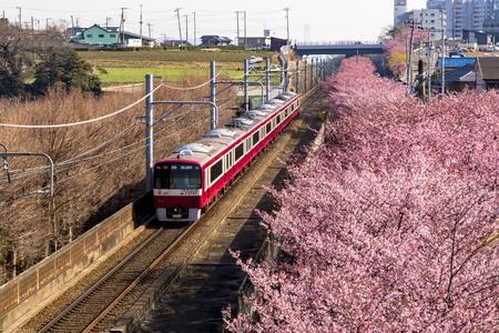 Miura Beach kawazu cherry blossom