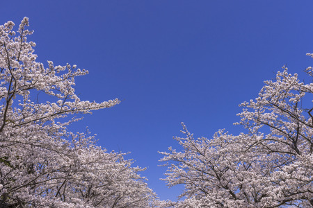 Cherry blossoms in full bloom along the Shiraishi River Stok Fotoğraf