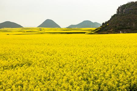 Rape field in Yunnan, luoping