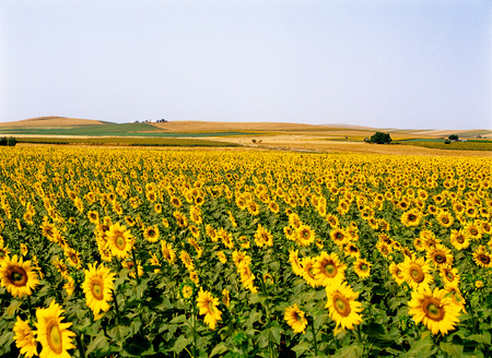 Sunflowers in the Andalusia region 版權商用圖片