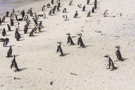 Penguins in Cape Peninsula