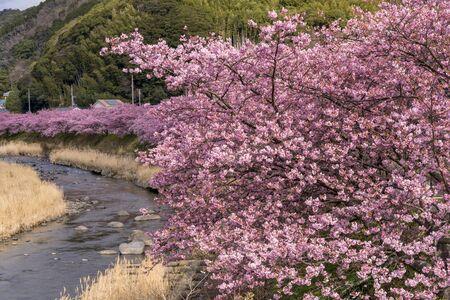 Cherry trees along the Kawazu River in full bloom