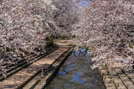 Cherry blossoms in full bloom along the Motoara River