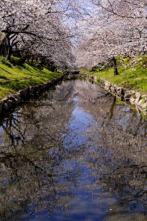 cherry blossioms in full bloom along the motoarakawa river 写真素材