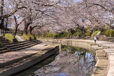 cherry blossioms in full bloom along the motoarakawa river