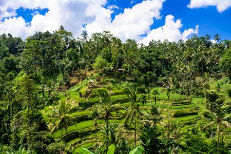 Rice Terrace in Bali 版權商用圖片