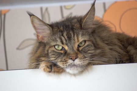 Sad cat on the top shelf. Relaxing cat . Maincoon big cat. Colored cat with green eyes