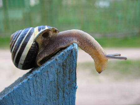 Yellow-black snail on a blue plate. Spring tulip. Snail with horns. curious pet