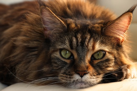 Serious sleepy main-coon cat with green eyes and multicolor wool on white background. Romantic cat Stock Photo