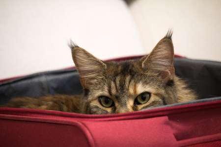 cat Peeps out of suitcase, charges the road travel with an assistant. big cats-Maine Coon. ears with tassels.