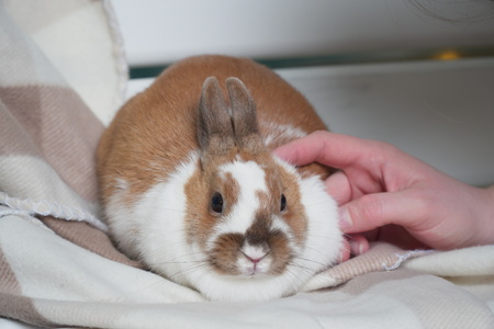 rabbit white-brown sitting on blanket. carefully or anxiously looking at the camera. Easter is coming. pet Stock Photo