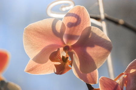 Red and orange Orchid flowers on a light background in contrasting light. Flora image, magazine