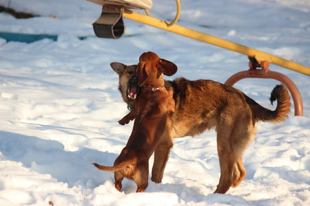 games of two brown dogs in the winter in the yard. Dachshund and mongrel run and heap each other Reklamní fotografie