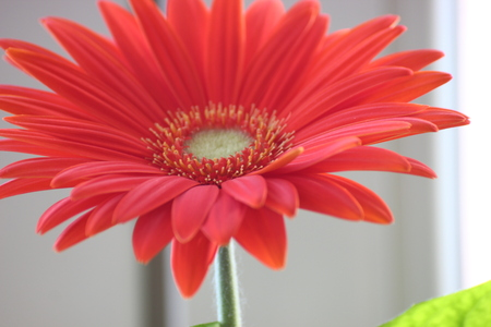 gerber daisy. orange or red flower gerberas in a flowerpot on the window. home plants, time-consuming care process. taking care of flowers. the sun in pot.