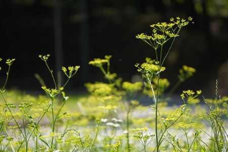 green peduncle with the yellow flowers, screensaver, blurred background Imagens