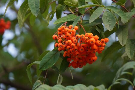 bunches of red Rowan berries hang on a branch waiting for birds, food for animals and birds. city trees with berries.