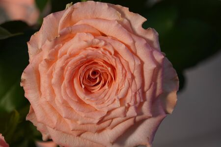 one coral rose in contrasting light, pale pink roses close-up, floral structure. The beauty of a delicate flower as background.
