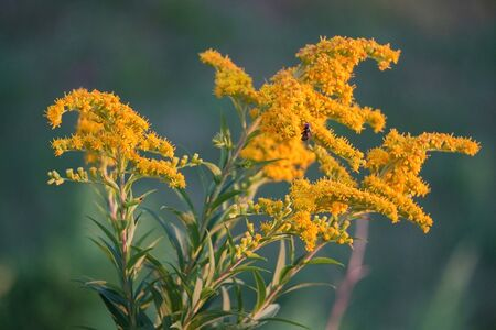 closeup plant with small yellow flowers on green branch in sunset on blurred natural green background. Floral design. Standard-Bild - 129250232