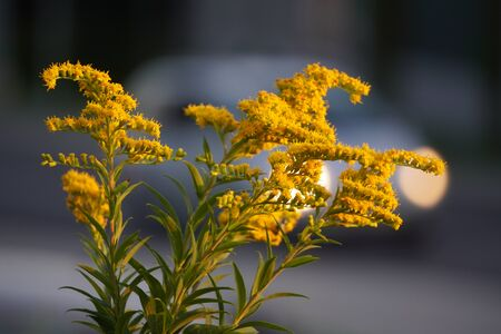 closeup plant with small yellow flowers on green branch in sunset on blurred moving car background. Floral design in the city Standard-Bild - 129250235