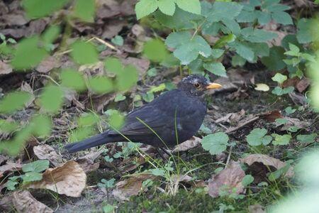 closeup Starling stands on the grass with yellow fallen leaves, a black bird with yellow beak. Sturnus vulgaris