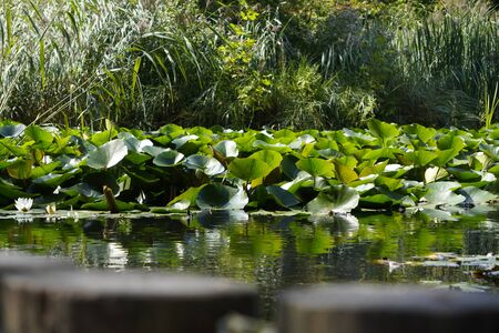 bottom view of swamp with plants, water surface close, bushes and grass in distance. copyspace, background Stok Fotoğraf
