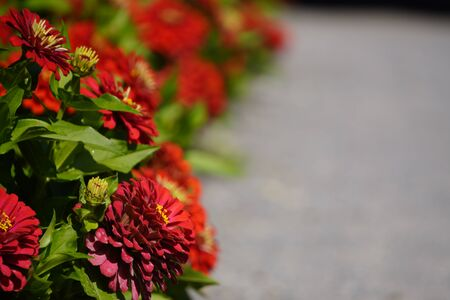 red autumn flowers zinnia as frame. place for text - copy space. screensaver, background.