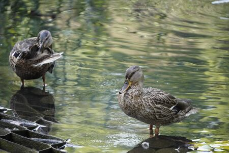 couple of ducks standing near the shore in the water, one duck washes, the second looks at the lens. a few feathers lay on the rock, the reflection in the water.