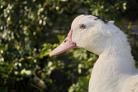 A single goose head close-up on a background of green leaves, a portrait of white bird with a long neck. Stock fotó