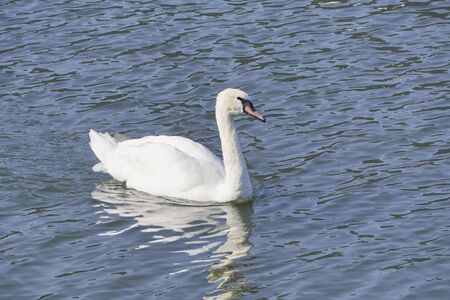 great white Swan floating on lake on a Sunny bright day, reflection in the water. There is a contrast between white swan and dark water background. Stock Photo