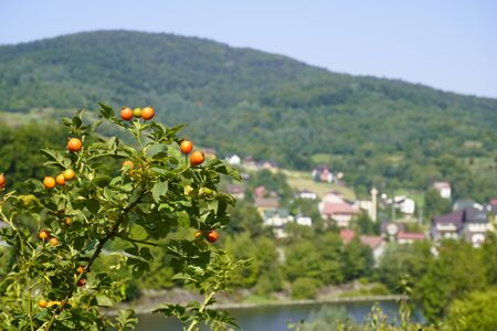 red rosehip berries on background of the city and the mountains. green forests and rocks blurred background. a small village in the hills