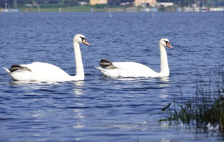 a family of swans swims in mountain lake, at home in the hills by the lake. reflections in the dark water of white graceful swans. Stock Photo
