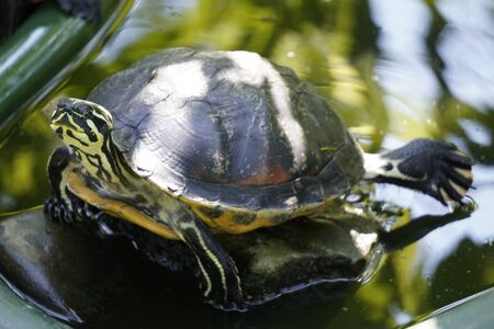 turtle sitting by water raising his head on a Sunny day. light and shade in summer, reptile rest Zdjęcie Seryjne