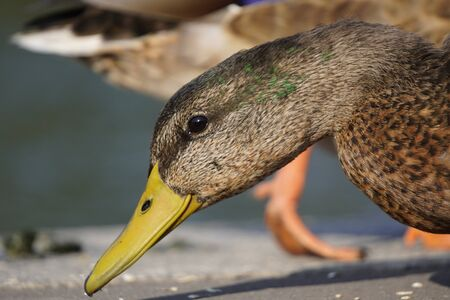 the female duck portrait closeup on blurred natural background. wild duck on city lake on warm summer day Stok Fotoğraf