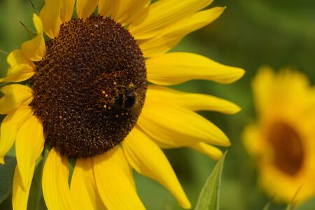 decorative sunflower flowers in sunlight, flower with a dark middle and yellow petals. bright harbinger of autumn on a blurred background with copy space Фото со стока