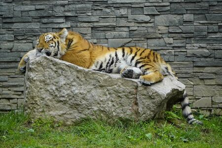 big tiger sleeps on a rock on a Sunny day against a gray brick wall. afternoon NAP of predatory animals
