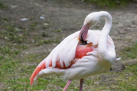 pink Flamingo caring for their feathers, combs and removes excess. portrait of bird, close located