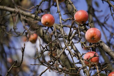 last red apples on empty branches against the blue sky in autumn. the change of pore years, close to cold 版權商用圖片