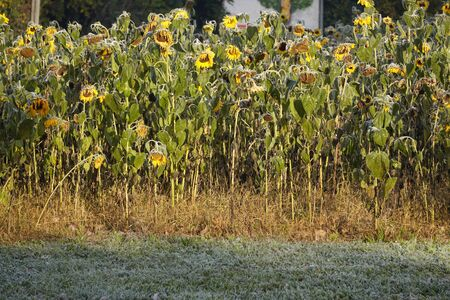 the first frosts in autumn, wilted and frozen sunflower flowers bowed their heads. frost on leaves and petals. the approach of winter, change of seasons, a warm autumn night cold